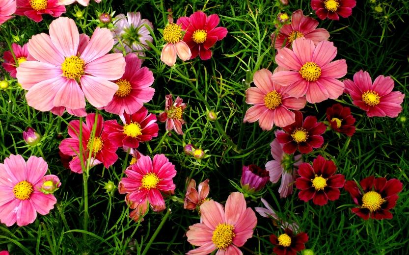pink_cosmos_flowers-wide.jpg