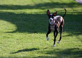run-funny-breed-dog-grass