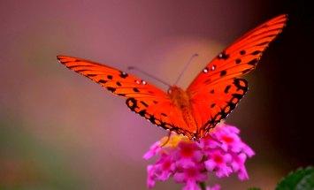 Orange-butterfly-on-flower-1